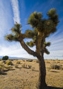 Joshua Tree in Mojave Desert Royalty Free Stock Photography