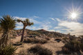 Joshua tree national park landscape photo of with starburst in the sky Royalty Free Stock Photo