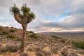 Joshua Tree Near Keyes View Stock Images