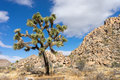 Joshua Tree With Rockpile In T...