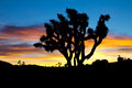 Joshua Tree Silhouette in Sunset Royalty Free Stock Photo