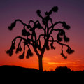 Joshua Tree Sunset Royalty Free Stock Photo