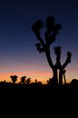 Joshua tree sunset in the national forest Stock Photography