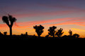 Joshua tree sunset in the national forest Stock Photos