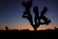 Joshua tree at sunset np april Royalty Free Stock Images