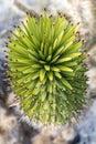 Joshua tree Yucca brevifolia