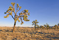 Joshua Trees in a Desert Landscape, California Royalty Free Stock Photo
