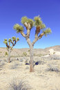 Joshua trees in a desert landscape california tree national park Royalty Free Stock Photography