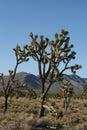 Joshua trees in Mojave Desert, California Royalty Free Stock Photo