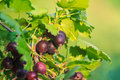 Jostaberry on a bush, hybrid of gooseberry and currant. Royalty Free Stock Photo
