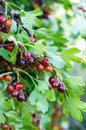 The jostaberry lat. Ribes x nidigrolaria is a cross fruit bush Royalty Free Stock Photo