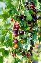 The jostaberry (lat. Ribes x nidigrolaria) Royalty Free Stock Photo