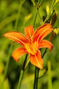 Jour orange lilly Photographie stock