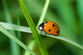 Journey of lonely ladybird in green grass jungle Royalty Free Stock Photos