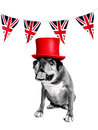 Jubilee boxer dog Stock Images