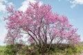 Judas tree siliquastro or in full bloom in spring Stock Image