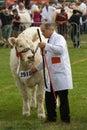 Judging Charolais bulls at the Royal Welsh Show Royalty Free Stock Photo