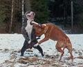 Juego de pitbull que lucha con o e bulldog Fotografía de archivo libre de regalías
