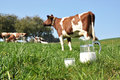 Jug milk against herd cows emmental region switzerland Stock Images