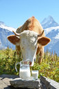 Jug of milk against herd of cows switzerland jungfrau region Stock Image