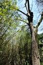 Juglans Nigra tree in the botanical garden of Lisbon Royalty Free Stock Photo