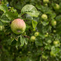 Juicy apple hanging on a tree branch in the garden covered with water leaves drops from rain Royalty Free Stock Images