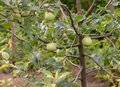 Juicy apples grows in the tree beneficial fruits concept
