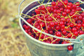 Juicy berries of red currant in an iron small bucket Royalty Free Stock Photo
