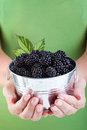 Juicy blackberries in woman hands small bucked held by Stock Image