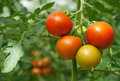 Juicy and fresh tomatoes Royalty Free Stock Photo