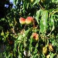 Juicy fruits on the peach tree Royalty Free Stock Photo