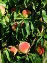 Juicy fruits on the peach tree Royalty Free Stock Photo