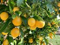 Juicy orange oranges on a tree in the sunlight Royalty Free Stock Photo