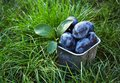 Juicy plums in the green grass. Autumn harvest. Harvesting. Royalty Free Stock Photo