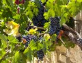 Juicy ripe bunch of grapes Cabernet Sauvignon. The vineyards of Greece. Royalty Free Stock Photo