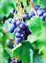 Harvesting of ripe grapes, Red wine grapes on vine in vineyard, Royalty Free Stock Photo