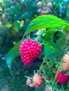 Juicy,taste,beautifull raspberry