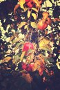 Juicy tasty red apples on an autumn branch of apple tree in the Royalty Free Stock Photo