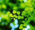 Jujube leaves. Royalty Free Stock Image