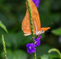 Julia butterfly an orange drinks nectar from a small purple flower Stock Images