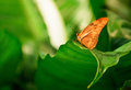 Julia butterfly photo of a resting on a leaf in a garden Royalty Free Stock Images