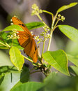 A julia butterfly posing on white flowers dryas iulia feeds from the pollen of in the island of cuba Stock Photo