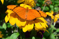 Julia Butterfly on the sunflower Royalty Free Stock Photo