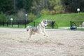 Jump of husky