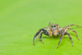 Jumper spider Stock Images