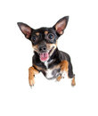 Jumpimg flying toy terrier dog or top view Stock Photography