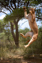 Jumping african wild cat in namibia cats to catch meat harnas foundation Stock Images