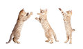 Jumping british kitten set Royalty Free Stock Photo