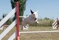 Jumping bull terrier