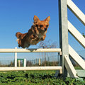 Jumping chihuahua Royalty Free Stock Photo